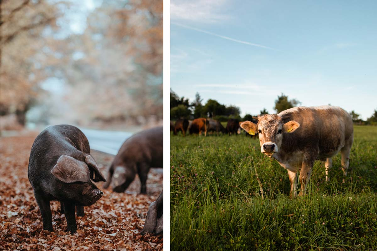 pig and cow on a farm