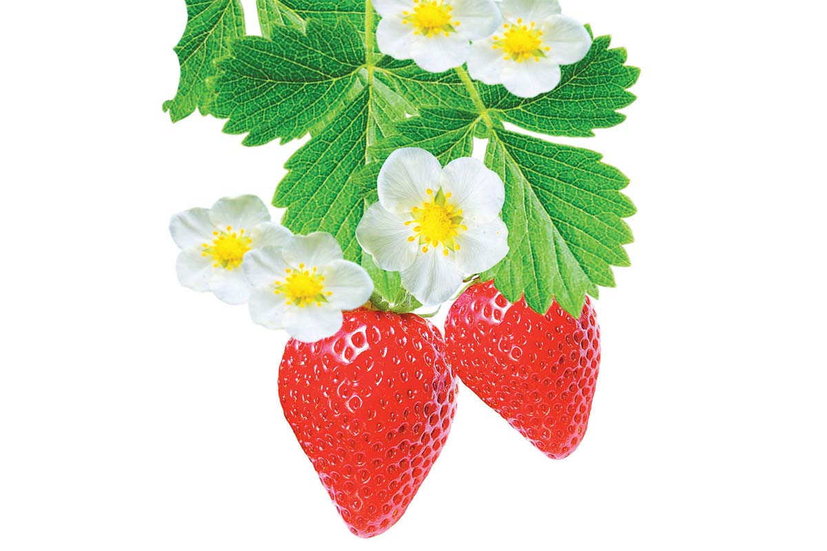 illustration of two strawberries on a branch with leaves and flowers