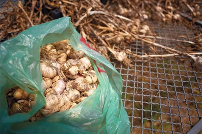 Recently harvested garlic curing on a rack at CATA