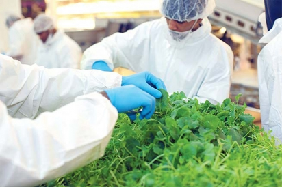 Staff harvesting greens