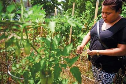 CATA organizer, Kathia Ramirez, tending tomatoes