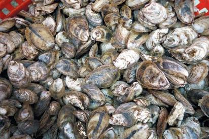 Plenty of oysters in a basket