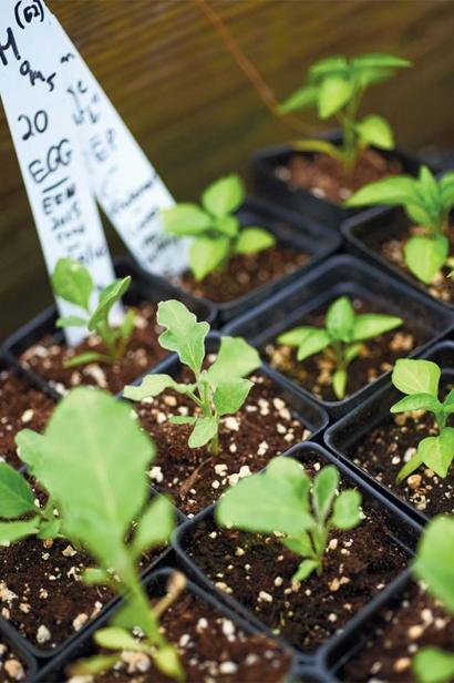Syrian eggplant seeds