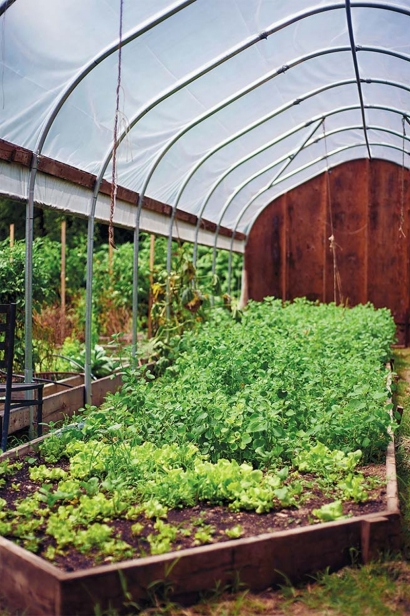 Mexican herbs, papalo and pipicha, growing in the high tunnel.