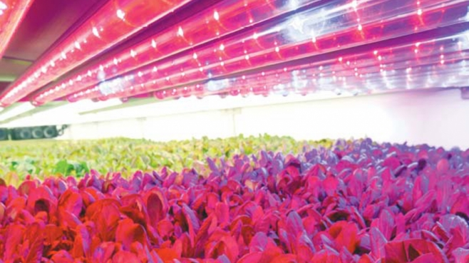 Lettuce under AeroFarms grow lights