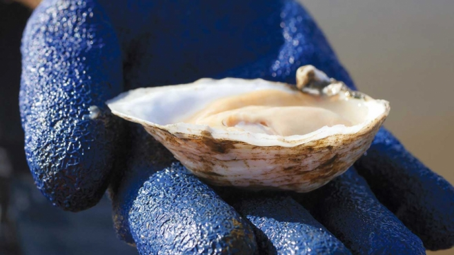 Cape May Salt oyster