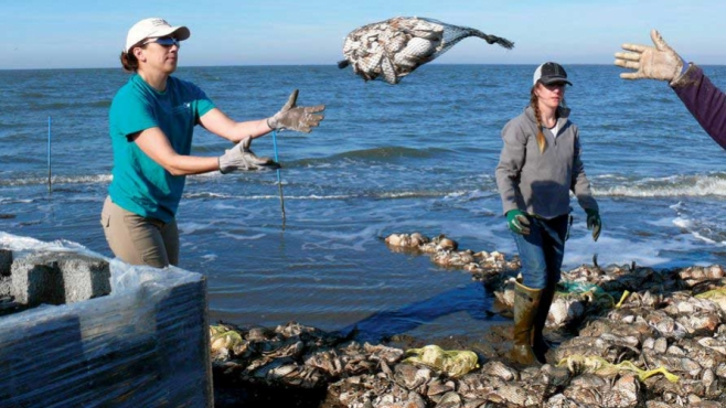 Using recycling shells to let oysters grow